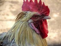雄鸡的纵向 库存图片