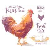 雄鸡,公鸡,公鸡传染媒介例证 库存图片