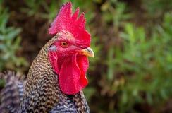 雄鸡,西班牙 图库摄影