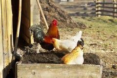 雄鸡-新年的标志 免版税库存照片