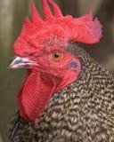 雄鸡画象 库存照片