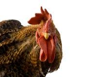 雄鸡 库存图片