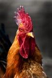 雄鸡 免版税库存图片