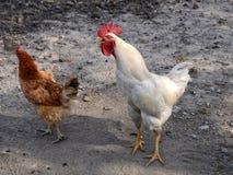 2雄鸡 免版税库存照片