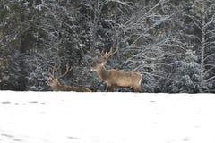 雄鹿和牡鹿鹿牧群观看在horizont的在雪白色森林里在冬天 库存照片
