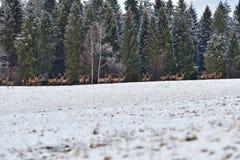 雄鹿和牡鹿鹿牧群观看在horizont的在雪白色森林里在冬天 库存图片