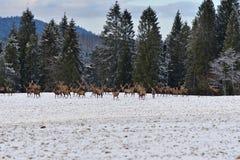 雄鹿和牡鹿鹿牧群观看在horizont的在雪白色森林里在冬天 图库摄影
