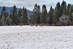 雄鹿和牡鹿鹿牧群观看在horizont的在雪白色森林里在冬天 免版税库存照片