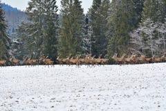 雄鹿和牡鹿鹿牧群观看在horizont的在雪白色森林里在冬天 免版税图库摄影