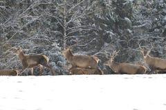 雄鹿和牡鹿鹿牧群观看在horizont的在雪白色森林里在冬天 免版税库存图片