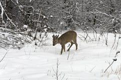 雄鹿在冬天 库存图片