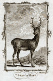 1770雄鹿或牡鹿鹿的布丰古董动物印刷品 免版税库存照片