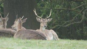 雄鹿母鹿孩子和闺房2 免版税图库摄影