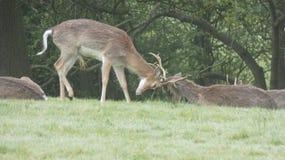 雄鹿母鹿孩子和闺房12 免版税库存照片