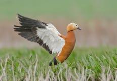 雄麻鸭类ferruginea 库存图片