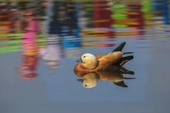 雄麻鸭类ferruginea 免版税库存图片