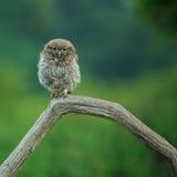 雅典娜小的小猫头鹰猫头鹰 免版税库存照片