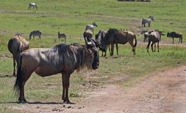 集中于与站立远离牧群的一匹大角马的前景 库存照片