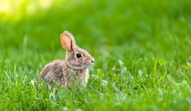 集中于在绿草的小狂放的兔宝宝 免版税库存图片