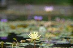 集中于最接近的莲花 库存照片