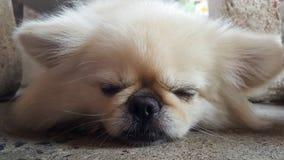 集中在放松逗人喜爱的Pekingese的狗于地板,感觉睡觉并且看照相机 免版税库存照片