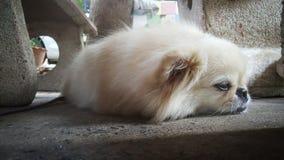 集中在放松逗人喜爱的Pekingese的狗于地板,感觉睡觉并且看照相机 库存图片