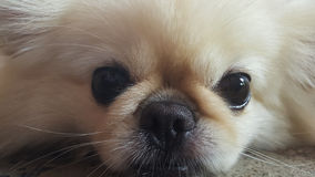 集中在放松逗人喜爱的Pekingese的狗于地板,感觉睡觉并且看照相机 库存照片