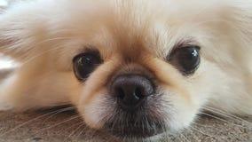 集中在放松逗人喜爱的Pekingese的狗于地板,感觉睡觉并且看照相机 免版税图库摄影