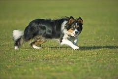 集中的狗 免版税库存图片