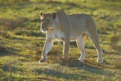 集中的雌狮 库存照片
