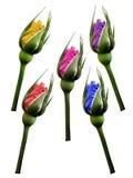 集合红色蓝色黄色桃红色紫罗兰色玫瑰开花,白色与裁减路线的被隔绝的背景 特写镜头 没有影子 芽上升了 免版税库存图片