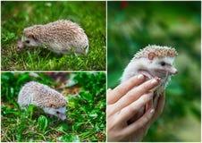 集合 在绿草的幼小猬 免版税库存图片