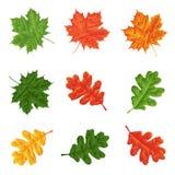 集合-槭树和橡木叶子自然装饰的 查出 库存图片