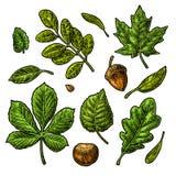 集合绿色叶子、橡子、栗子和种子 传染媒介葡萄酒颜色被刻记的例证 库存例证