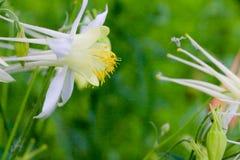 集水量的花在庭院里在春天 免版税图库摄影