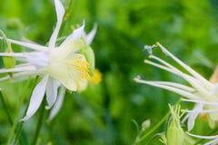 集水量的花在庭院里在春天 库存照片