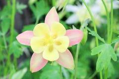 集水量的花在庭院里在春天 图库摄影