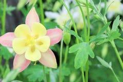 集水量的花在庭院里在春天 免版税库存照片