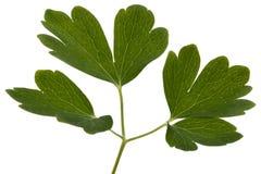 集水量,拉特花的叶子  Aquilegia,隔绝在白色背景 免版税库存照片