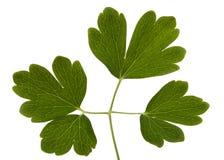集水量,拉特花的叶子  Aquilegia,隔绝在白色背景 库存照片