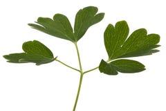 集水量,拉特花的叶子  Aquilegia,隔绝在白色背景 库存图片
