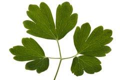 集水量,拉特花的叶子  Aquilegia,隔绝在白色背景 免版税库存图片