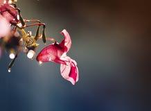 集水量的桃红色花在露水闪耀的下落被盖  免版税图库摄影
