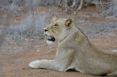 雌狮休息,显示她的锋利的牙齿 免版税库存照片