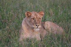 雌狮休息 免版税图库摄影