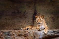 雌狮休息 库存图片