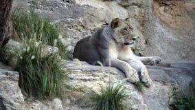 雌狮休息 免版税库存图片