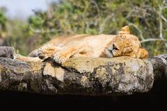 雌狮休眠 免版税库存照片