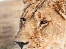 雌狮关闭 免版税库存图片