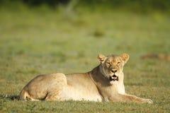 雌狮凝视 免版税库存照片